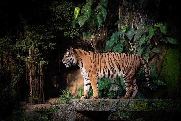 Tigre du bengale, grande faune carnivore en forêt