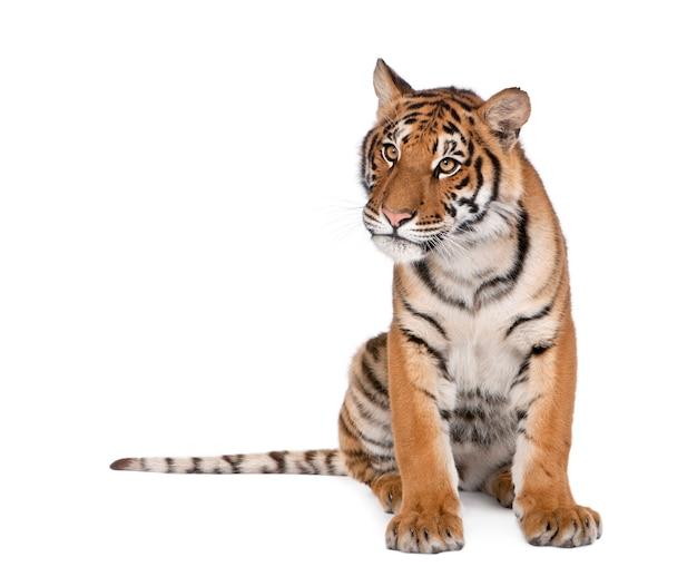 Tigre du bengale, panthera tigris tigris isolé