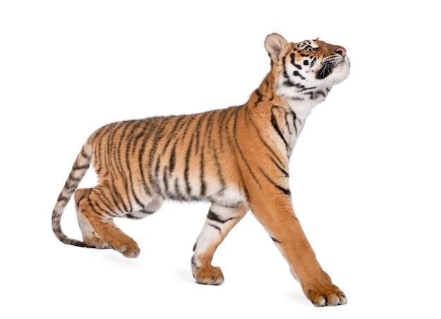 Tigre du bengale, panthera tigris tigris, marche