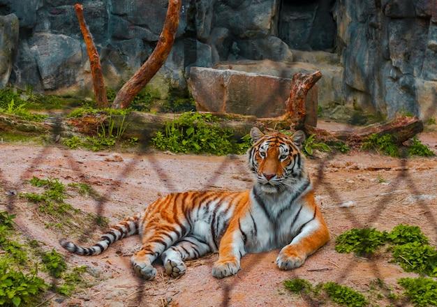 Tigre du zoo de séoul