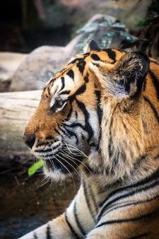 Tigre féroce terre noire fond une belle lumière