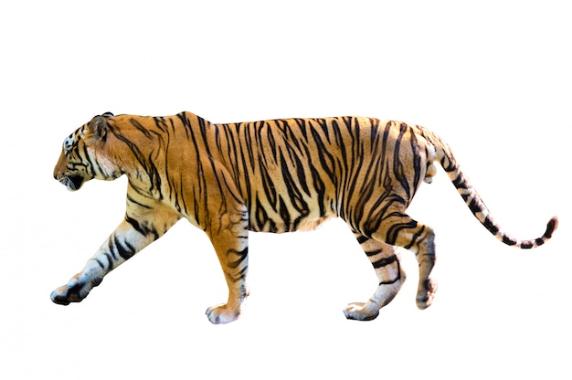 Tigre fond blanc isoler tout le corps