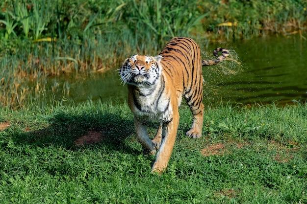 Tigre incroyable