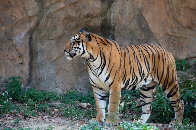 Tigre d'indochine (panthera tigris corbetti).