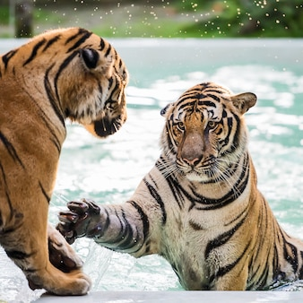 Le tigre joue dans la piscine par une chaude journée.