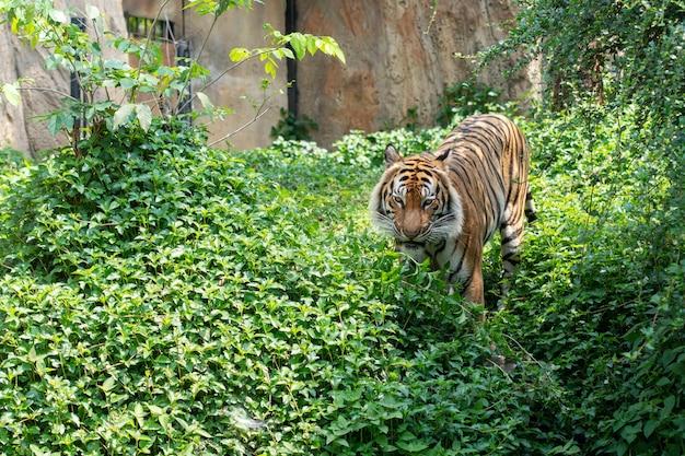 Tigre marchant dans la forêt, la maison du tigre