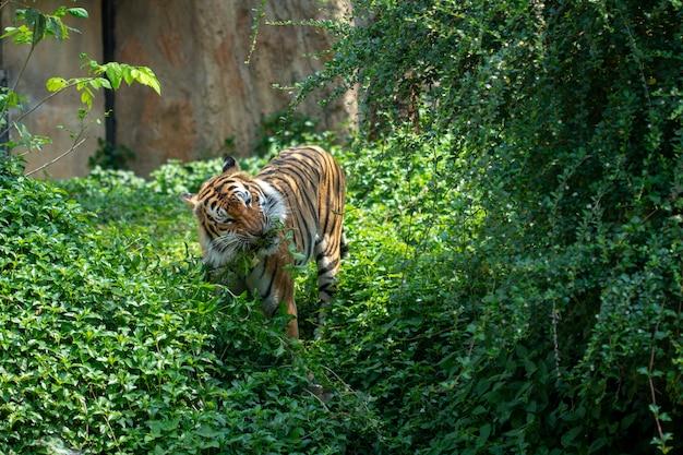 Tigre marchant dans la forêt