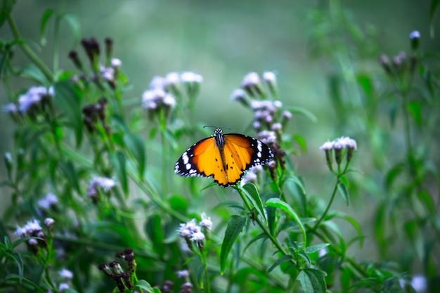 Tigre ordinaire danaus chrysippus papillon buvant le nectar des plantes à fleurs au printemps
