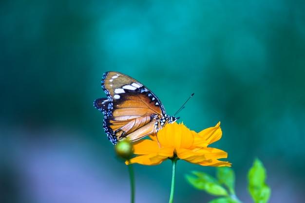 Tigre ordinaire danaus chrysippus papillon buvant le nectar les plantes à fleurs