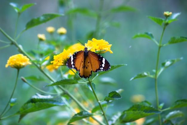Tigre ordinaire danaus chrysippus papillon se nourrissant de la plante à fleurs dans la nature fond vert
