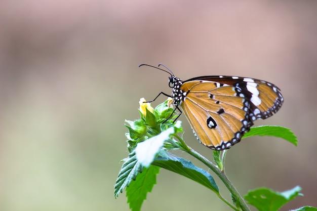 Tigre ordinaire danaus chrysippus papillon visitant les fleurs dans la nature au printemps