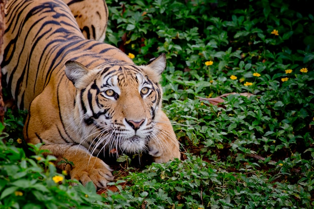 Tigre regardant sa proie et prêt à l'attraper