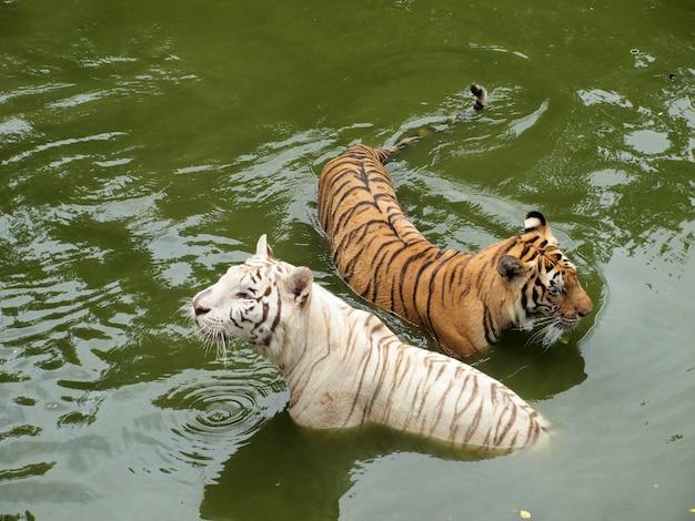 Tigre royal du bengale