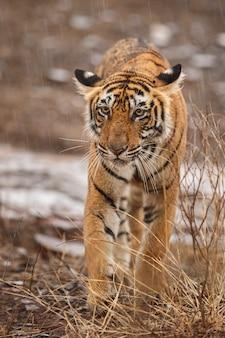 Tigre royal sauvage du bengale dans l'habitat naturel du parc national de ranthambhore