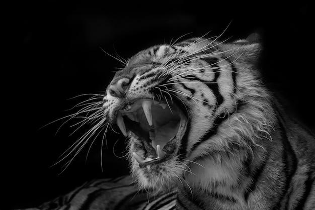 Tigre rugissant en noir et blanc