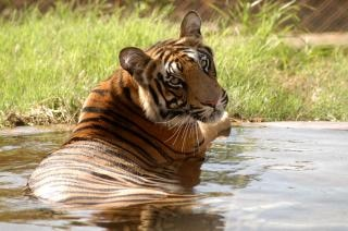 Tigre, sauvages