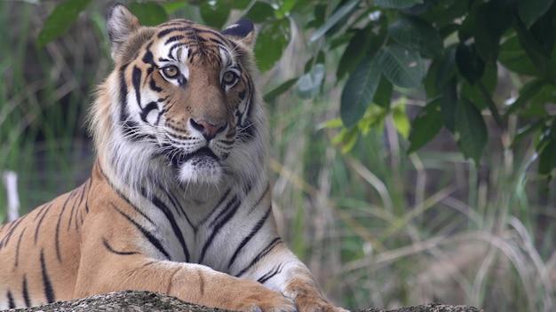 Tigre se reposant dans la forêt