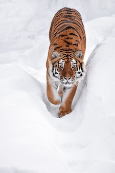 Tigre de sibérie marchant dans la neige blanche