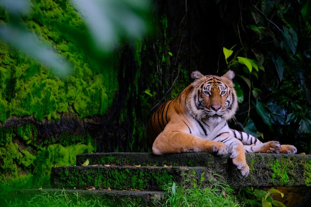 Tigre de sibérie (panthera tigris altaica), également connu sous le nom de tigre de l'amour