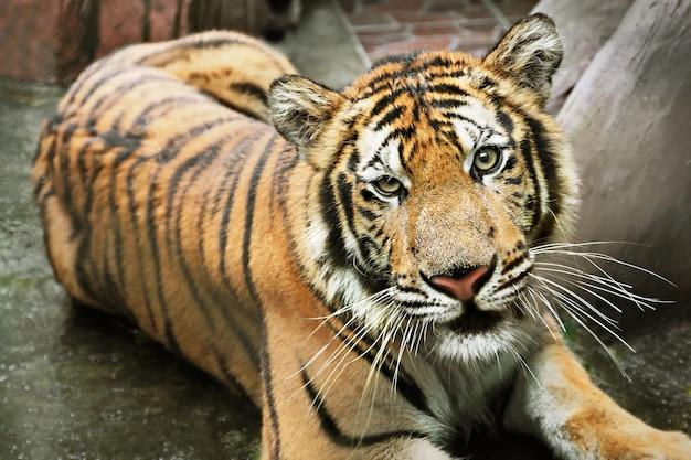 Tigre solitaire