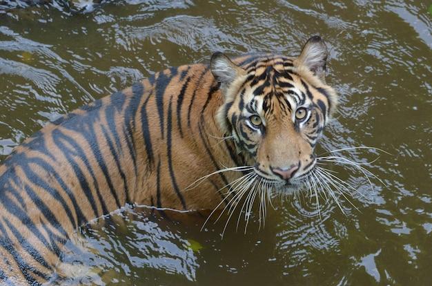 Tigre de sumatra nageant dans l'étang