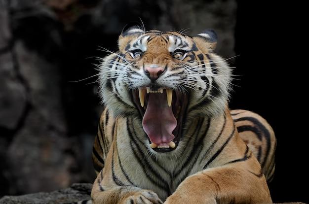 Tigre de sumatra avec visage effrayant