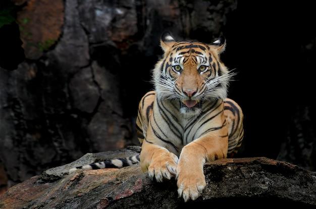 Le tigre sumatran est assis sur un rocher