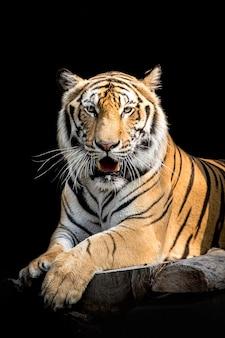 Tigre en thaïlande