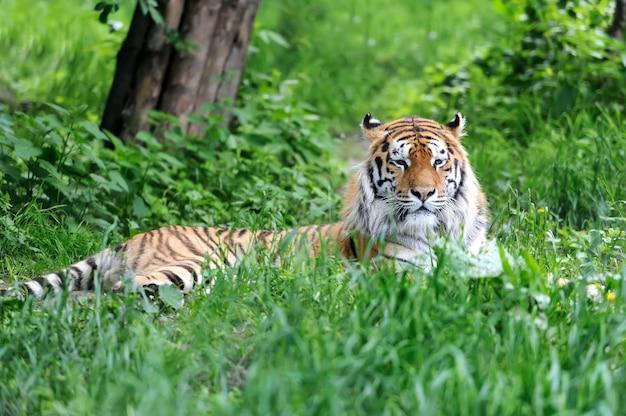 Tigres de l'amour sur l'herbe verte en journée d'été