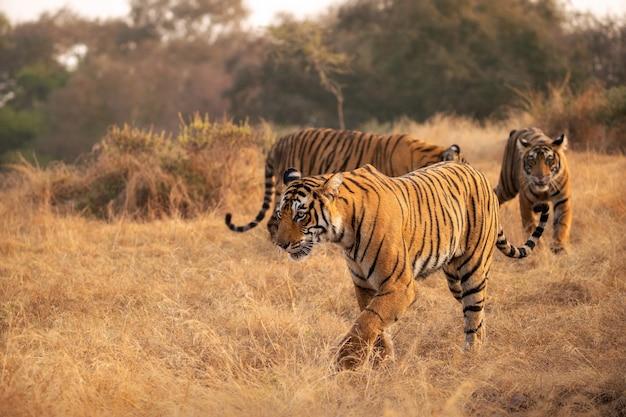 Tigres du bengale étonnants dans la nature