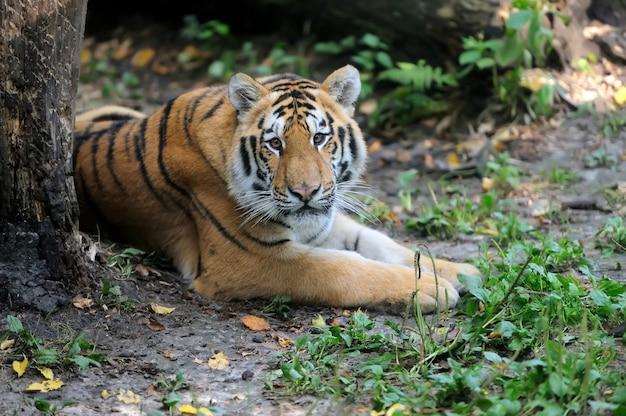 Tigres sur l'herbe verte en journée d'été
