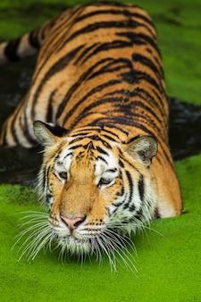 Tigres nagent