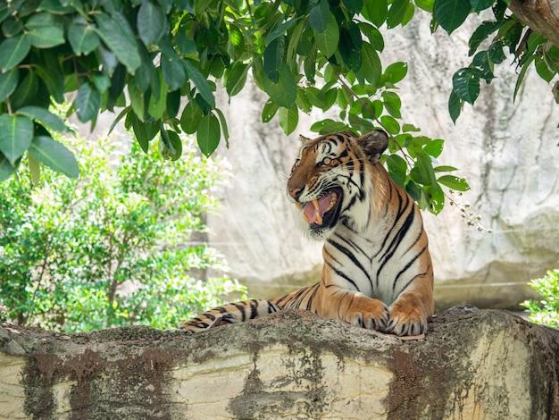 Les tigres sont de grands carnivores