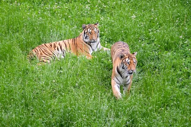 Tigres tranquilles se trouvant dans le champ