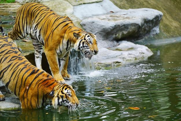 Les tigres vont traquer les victimes dans l'eau