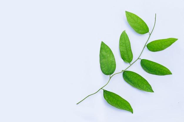 Tiliacora triandra feuilles vertes sur mur blanc.