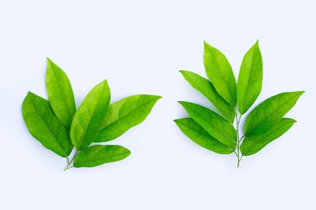Tiliacora triandra feuilles vertes sur surface blanche.