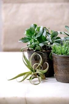 Tillandsia air et différentes plantes succulentes eonium, cactus dans des pots en céramique debout sur une table en marbre blanc.