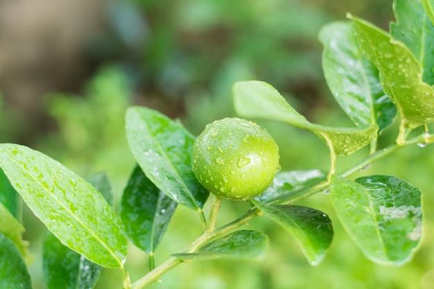 Tilleul frais avec des fruits