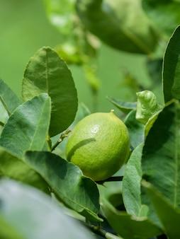 Tilleul et limes verts frais sur la branche dans le jardin de citron vert.