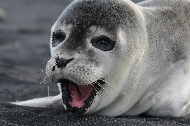 Tir horizontal d'un bébé phoque heureux sur la plage noire en islande