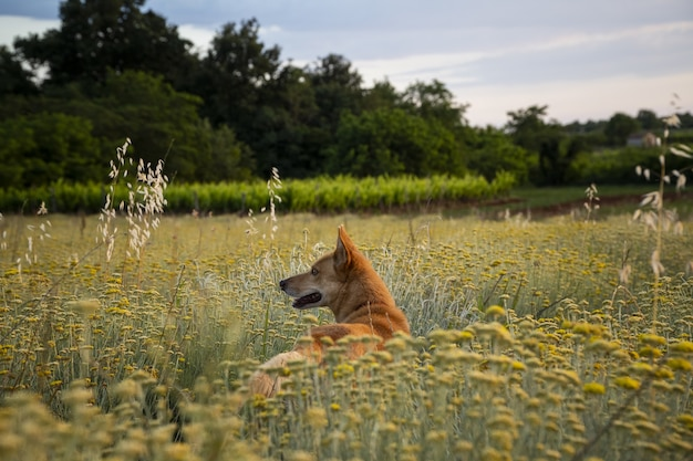 Tir horizontal d'un champ de fleurs éternelles avec un chien brun en istrie, croatie