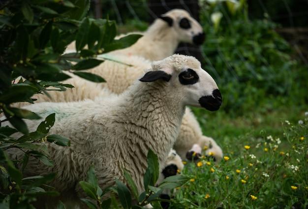 Tir de moutons blancs dans les terres agricoles se détendre sur l'herbe