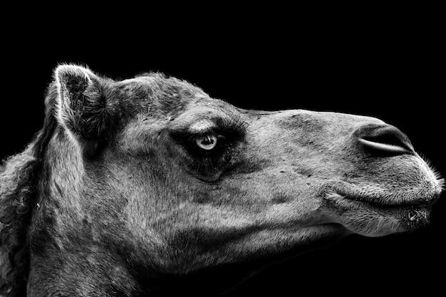 Tir en niveaux de gris d'un portrait d'un chameau sur une surface noire