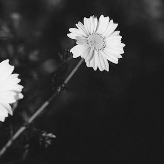 Tir noir et blanc d'une fleur en fleurs