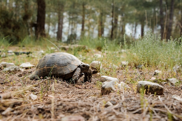 Tir d'une petite tortue en forêt