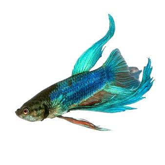 Tir d'un poisson combattant siamois bleu sous l'eau sur blanc