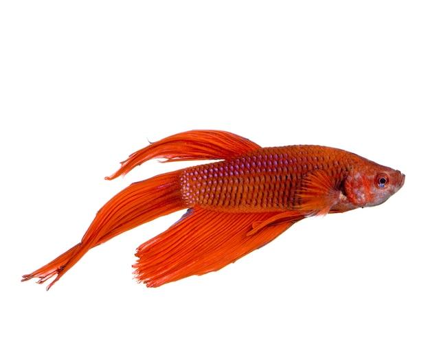 Tir d'un poisson combattant siamois rouge sous l'eau devant un fond blanc