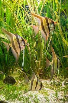 Tir sous-marin de poisson-ange altum et algées