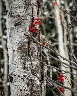 Tir vertical d'un arbre blanc et branches de possumhaw séchées à côté